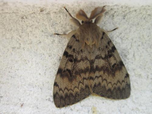 papillon-nocturne-le-Zigzag-ou-Le-Bombyx-disparate-ou-la-Sp.JPG.be6b483f953382fb3dd76a409b0555fa.JPG